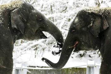 Elefantes salvos pela vodka